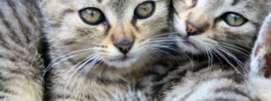 hodowla kotów